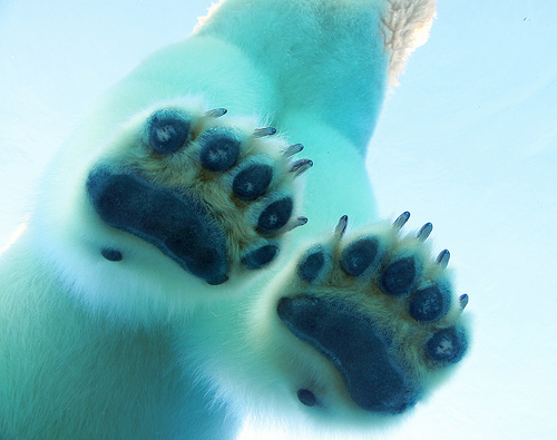 Polar Bear Foot